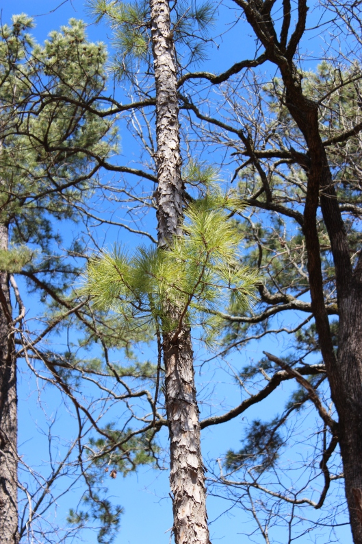 New growth on this lob-lolly pine.