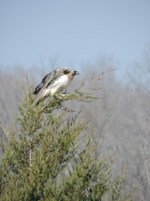 A hawk we noticed while driving through the countryside.