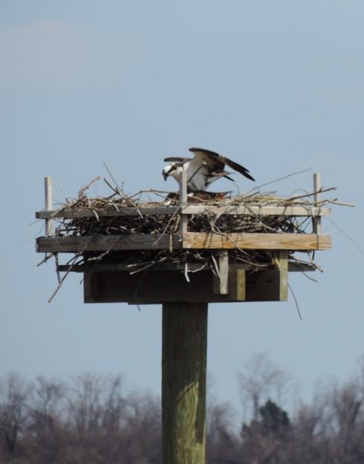 An osprey nest in the bay.