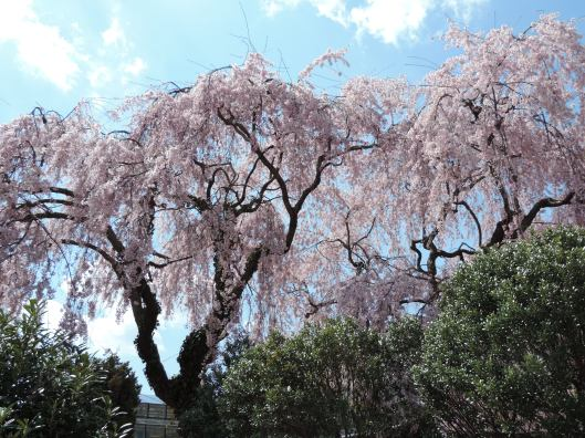 This weeping cherry tree is one of the varieties planted by Dr. Fairchild on his private property.