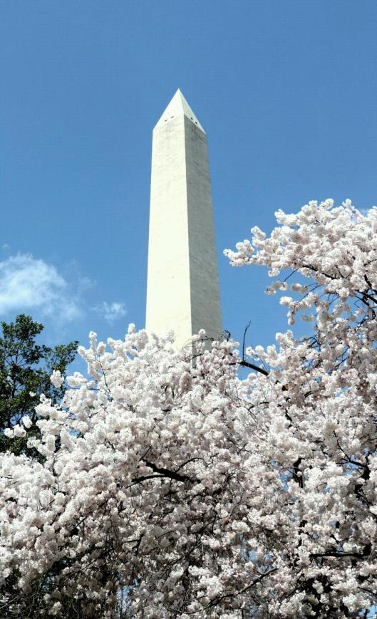 In 1965, the Japanese government gave 3,800 more cherry trees to First Lady, Lady Bird Johnston. These trees were planted on the grounds of the Washington Monument.