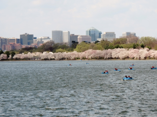 This is a view across the Tidal Basin to the city of Arlington, VA. The paddle boats are a fun way to view the cherry trees and can be rented for a reasonable fee.