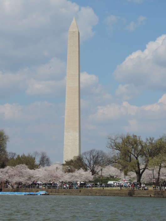 The Washington Monument with cherry trees in the foreground.