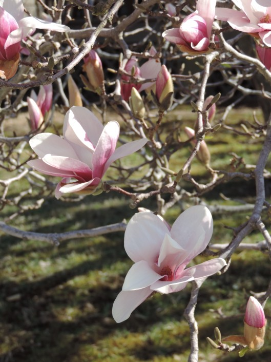 Tulip Magnoiia--spring has finally sprung!