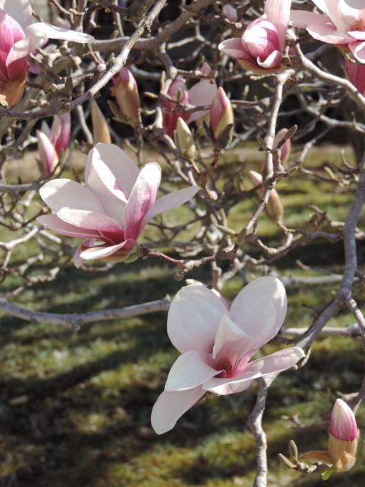 Tulip Magnoiia--spring has finally sprung!