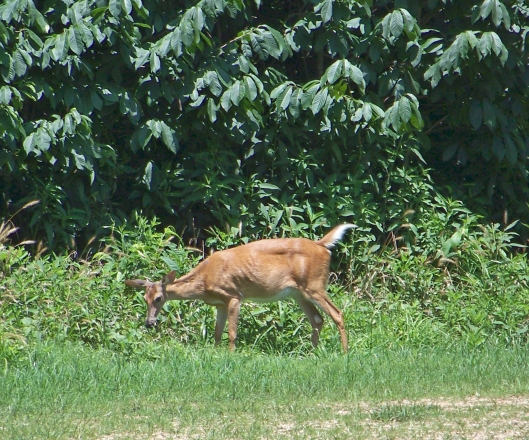 There are a lot of deer in and around the park.