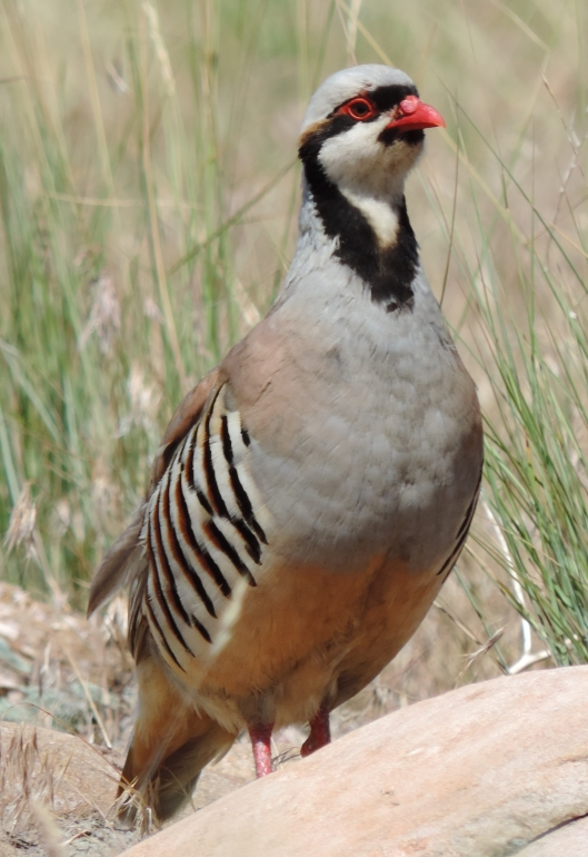This Chukar Partridge was a real treat, letting us walk right up to him.