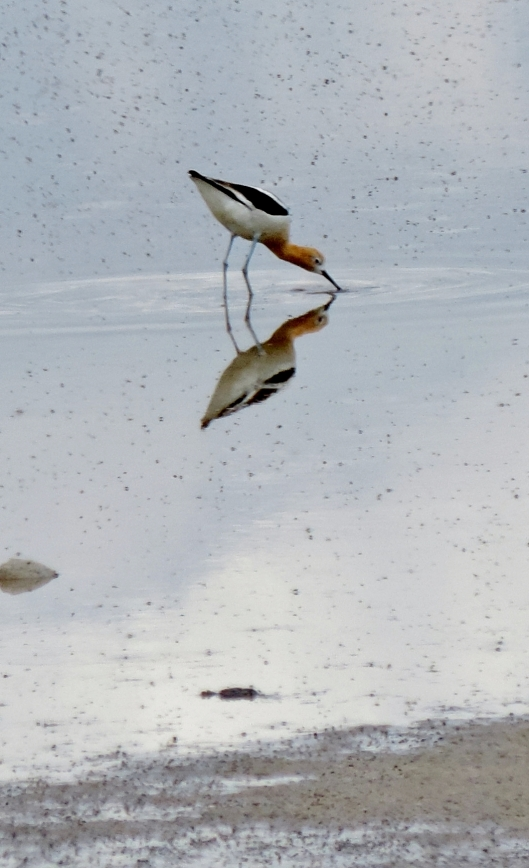 Catching a shot of this American Avocet is one of my favorite pictures of our trip.
