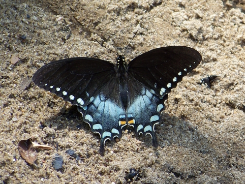 We saw this Pipevine Swallowtail on a hike at Pruitt Landing