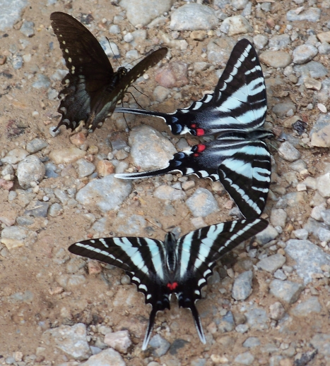 These beautiful Zebra Swallowtails greeted us as we began a hike into Lost Valley.
