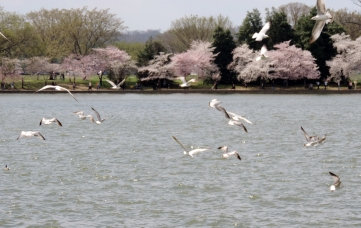I have always wanted to see the cherry blossoms in the spring in Washington, D.C. They were truly worth the trip.