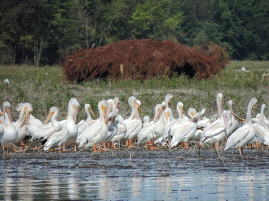 White Pelicans at Lincoln Shields. part of Riverlands National Bird Sancturary.