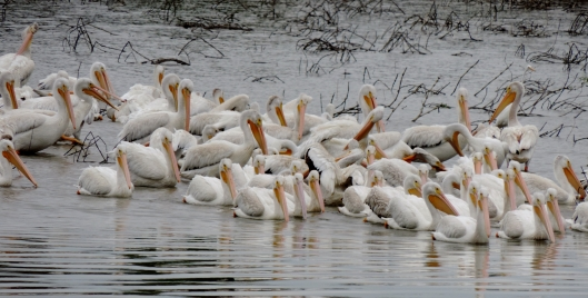 These pelicans were in Ellis Bay at Riverlands.