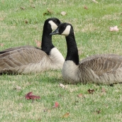 And these geese were just too special not to capture with my camera.