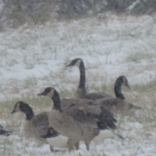 The geese were all out of the water, experiencing this first snow just as I was,,,by walking around in it!