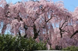 This cherry tree was close to the Native American Museum.