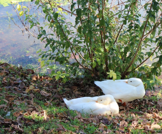 We love meeting the many geese and ducks that reside at Mammoth Spring.