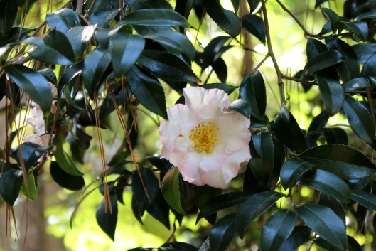 The many camellias at the arboretum are just beautiful!