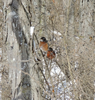 Even in the gray, snowy woods, the burnt orange breasts of these robins cannot hide for long!