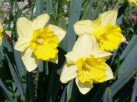 Big, bright, yellow daffodils...