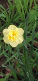 double daffodils...