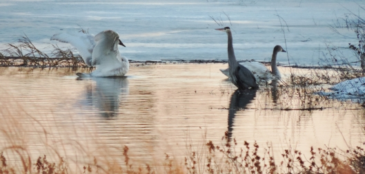 The winter is beautiful at Riverlands...saw these swans and a heron in late winter several years ago.