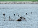 the cormorants...