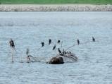 the cormorants...
