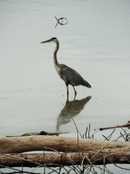 Herons are always present somewhere in the sanctuary.