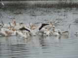 We love the huge numbers of pelicans that arrive annually...