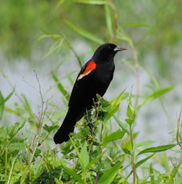 so many Red-winged Blackbirds...