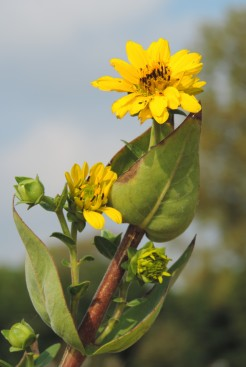 A cup sunflower in the riverside garden.