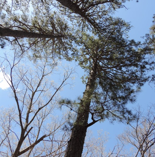 We had a picnic lunch under these very tall shortleaf pines.