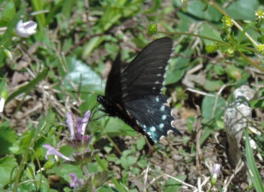 The Big Spring Area is visited by a wide variety of animal life. I caught a picture of this swallowtail butterfly.