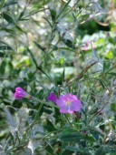 Red Campion...