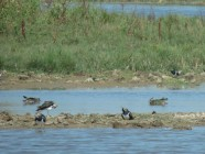 my most exciting find were these Lapwings...