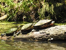 These turtles are out sunning, enjoying the day...as ware we.