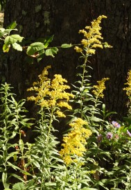 I have discovered over the last couple years that goldenrod is one of my favorite flowers, and it explodes in the late summer taking us into autumn.
