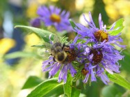 Asters are incredible, and the bees are very busy this time of year.
