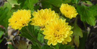 Chrysanthemums have always been one of my favorite flowers, they remind me of my home growing up.