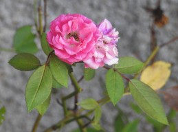 This rose, a Mother's Day gift from so long ago,,,