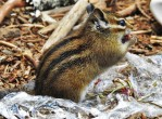 While we played, this chipmunk could not resist a free meal of bing cherry pits.