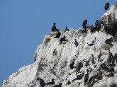 So many Cormorants, and...