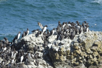 Common Murres on a rock