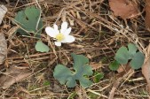 This Bloodroot is one of the first blooms of spring...