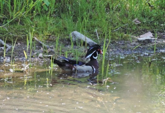 Saw this gorgeous wood duck one day in a side pool.