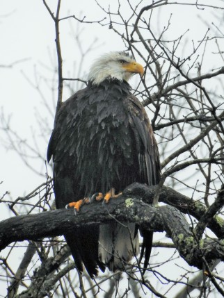 What a treat to find this eagle high in a tree watching over the lake...