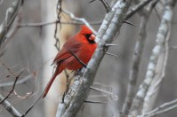 This cardinal is bundled up for the cold as he puffs his feathers our as fat as he can.
