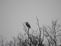 and this heron seeing what he can see!
