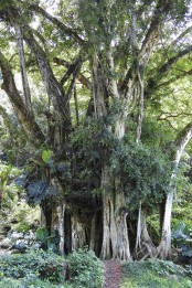 This huge banyan tree.